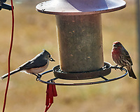 Tufted Titmouse (Baeolophus bicolor), House Finch (Haemorhous mexicanus). Image taken with a Nikon D5 camera and 600 mm f/4 VR lens.