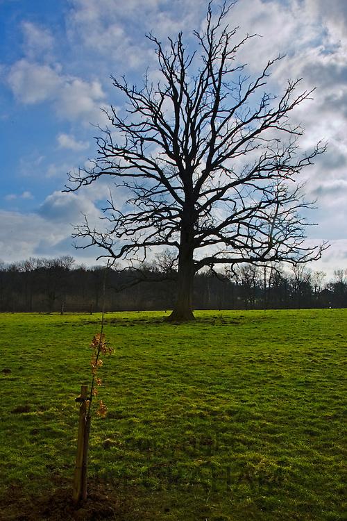 Oak tree sapling and dying oak tree in Oxfordshire  meadow, Bruern, The Cotswolds, United Kingdom