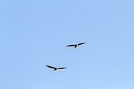 Adult Bald Eagles (Haliaeetus leucocephalus) riding the air currents over the cliffs at Kwomais Point Park in South Surrey, British Columbia, Canada