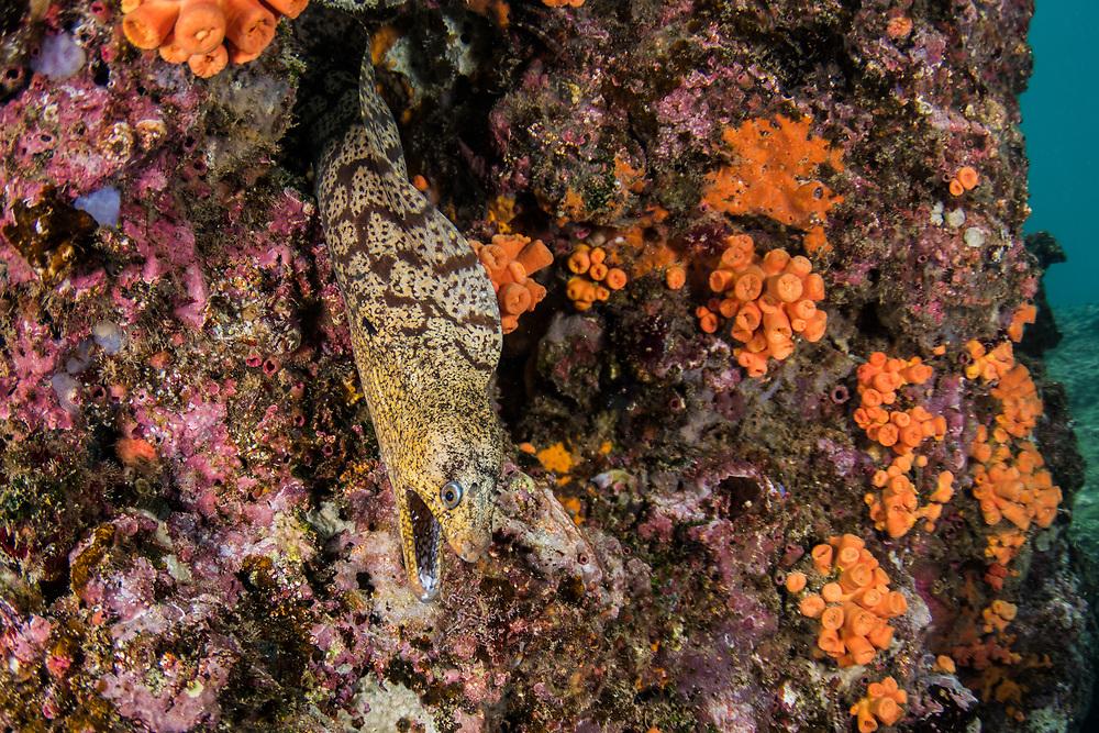 Jeweled Moray (Muraena lentiginosa)<br /> Rabida Island<br /> Galapagos<br /> Pacific Ocean<br /> Ecuador, South America