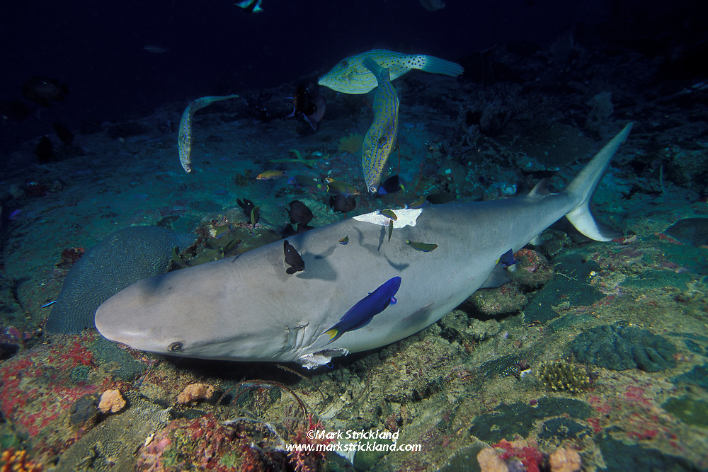 This gray reef shark, Carcharhinus amblyrhynchos, appears to have been killed only for its valuable fins, then discarded, possibly still alive.  Known as finfishing, this wasteful and cruel practice results higher profits for shark fishermen, but threatens to exterminate many species.  Thailand, Andaman Sea