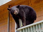Alaska. Black Bear (Ursus americanus) cun on 2nd story balcony railing, Anchorage.