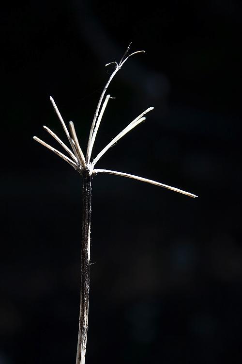 Detail of twig, Cascade Mountains, Washington.