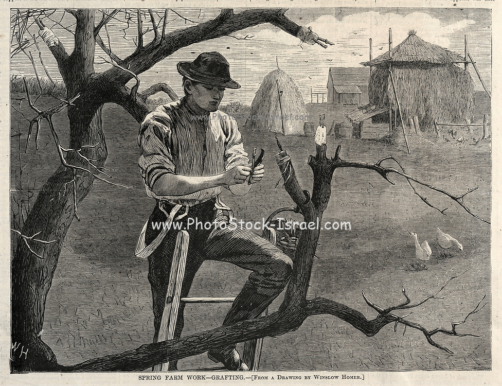 Spring Farm Work - Grafting woodcut print on paper by Winslow Homer  published by Harper's Weekly April 30, 1870
