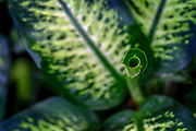 green foliage of a Dieffenbachia. Close up of the leaves of a house plant