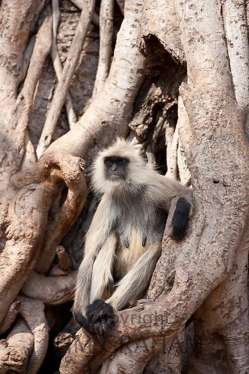 Indian Langur female monkey, Presbytis entellus, in Banyan Tree in Ranthambhore National Park, Rajasthan, Northern India