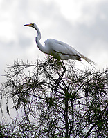 Great White Heron  in the  Florida Everglades photo by Catherine Brown
