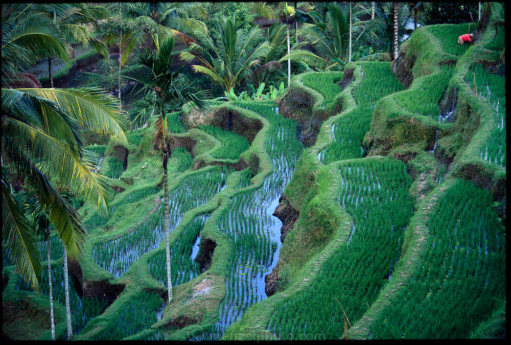 Rice fields on a volcanic slope, near the village of Ubud at Penatahan, Bali, Indonesia (Indonesia is the world's fourth most populated country).(page 56,57) Indonesian children hunt dragonflies with a specialized capture and retrieve method?each individual dragonfly is spotted, then snagged with sticky jack fruit sap stuck on the end of an extended bamboo whip in the rice fields. This practice has become rarer as Indonesians become wealthier.