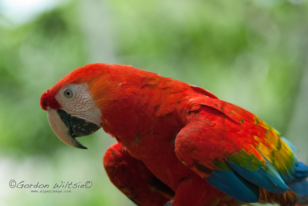 A captive Scarlet Macaw (Ara macao) perches in a tree at Pilpintuwasi Butterfly Farm and Amazon Animal Orphange near Iquitos, Peru.
