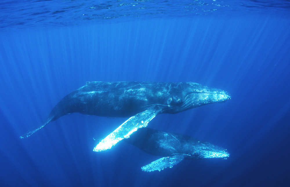 Humpback whale (Megaptera novaeangliae) mother and calf migrating off the coast of Cabo San Lucas, Mexico.