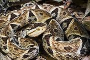 Terciopelo (Bothrops asper)<br /> ECUADOR<br /> Vivarium ID # 3386<br /> Captive