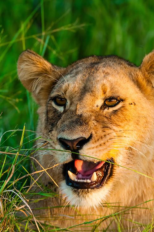 Female lion, near Kwara Camp, Okavango Delta, Botswana.