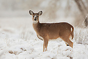 Stock photo of white tailed deer captured at the Rocky Mountain Arsenal in Denver, Colorado.  These deer were uncommmon in the Rocky Mountains.  But thanks to the spread of agricultural development, these deer are a lot more widespread.