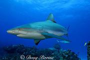 Caribbean reef sharks, Carcharinus perezi, Bahamas ( Western Atlantic Ocean )
