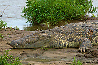 Nile crocodile, Mara River, Masai Mara National Reserve, Kenya