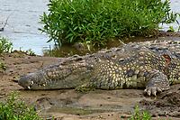 Nile crocodile, Mara River, Masai Mara National Reserve, Kenya