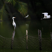 Herons flying over a river.
