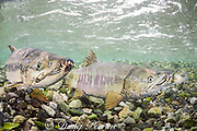 chum salmon, dog salmon, silverbrite salmon, or keta salmon, Oncorhynchus keta, in spawning stream, males closest to camera, female in back, Bear Trap, Port Gravina, Alaska, USA ( Prince William Sound )