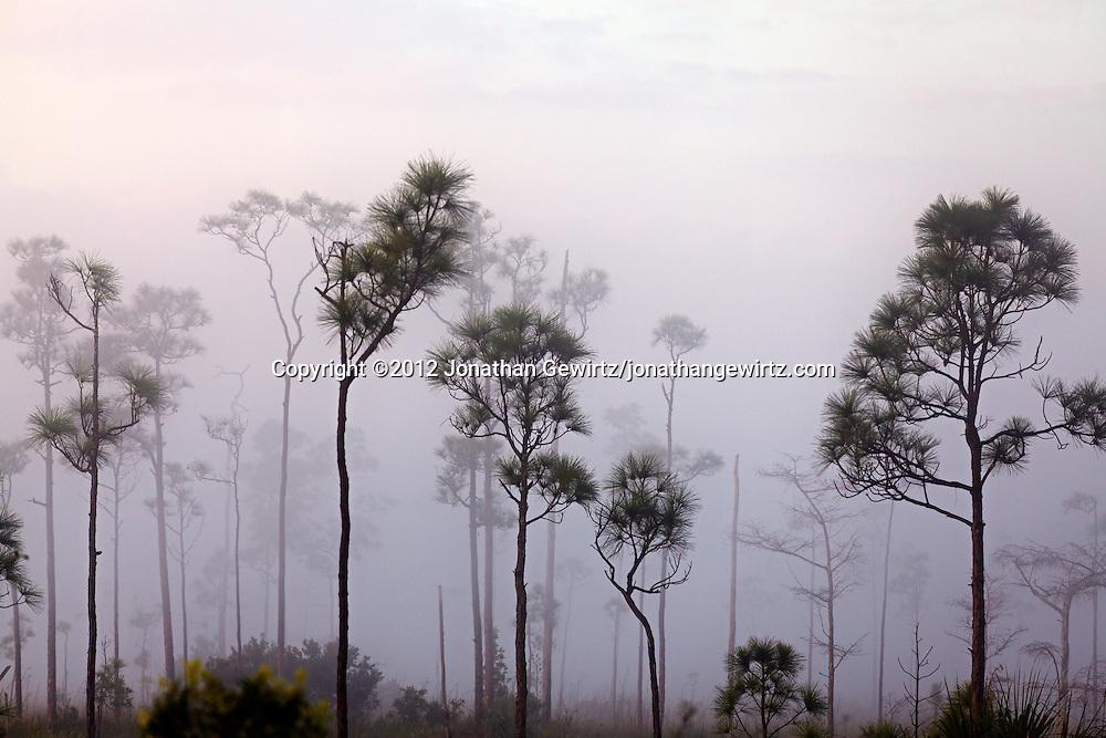 Pine trees loom out of the pre-dawn fog on the sawgrass prairie of Everglades National Park, Florida. WATERMARKS WILL NOT APPEAR ON PRINTS OR LICENSED IMAGES.