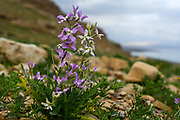 After a rare rainy season in the Judaea Desert and on the shores of the Dead Sea an abundance of wildflowers sprout out and bloom. Matthiola aspera Photographed on the shores of the Dead Sea, Israel in February