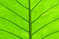 Grosses Blatt mit Blattadern im Regenwald, Iguassufälle, Brasilien<br /> <br /> Big leaf with leaf veins in rainforest, Iguassu Falls, Brazil