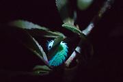 Brown hairstreak (Thecla betulae) larva under UV light at night on blackthorn (Prunus spinosa). Sussex, UK.