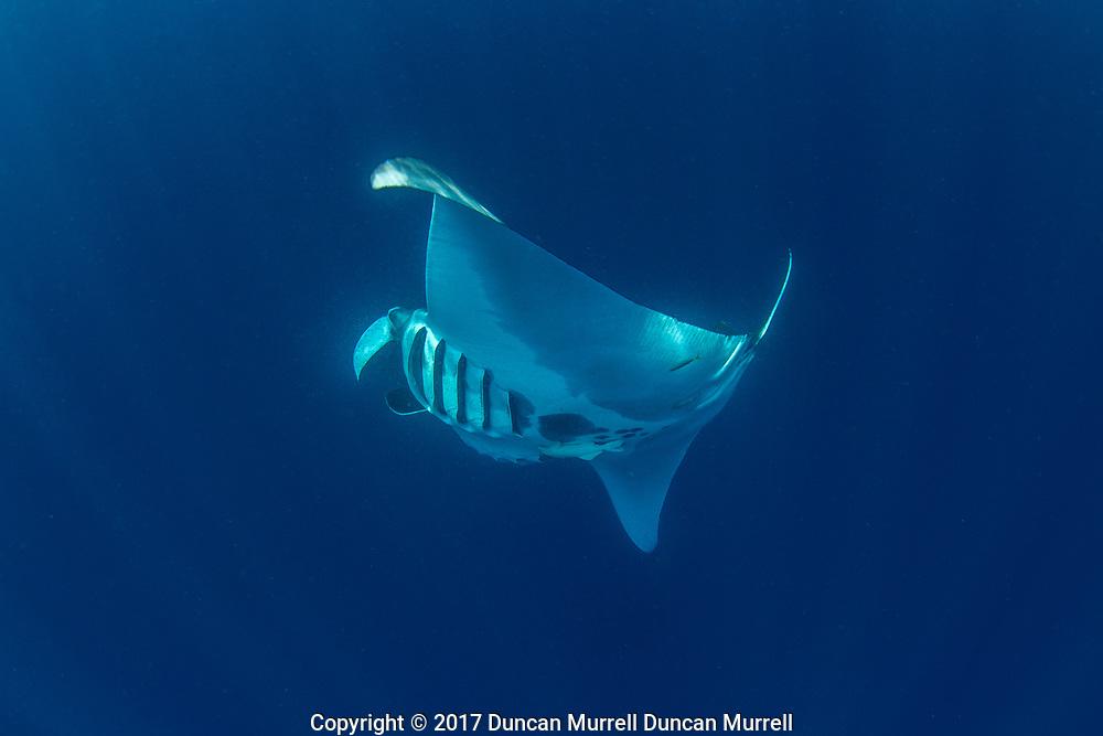 Giant oceanic manta ray, Manta birostris, feeding near the surface, Honda Bay, Palawan, the Philippines, Sulu Sea Oceanic manta ray ( Manta birostris ), Honda Bay, Palawan, the Philippines Oceanic manta ray (Manta birostris) barrel roll feeding. Honda Bay, Palawan
