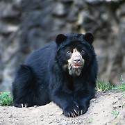 Spectacled bear (Tremarctos ornatus) inhabits the Andes Mountains in South America. Captive Animal