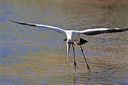 Wood Stork, Mrazek Pond