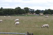 sheep, farming, meath, ireland, wool, lambe, livestock,