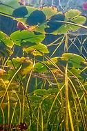 Underwater Scene-Water Lilies<br /> <br /> Engbretson Underwater Photography