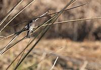 Black Phoebe, Sayornis nigricans, perches beside a pond in Sacramento National Wildlife Refuge, California