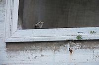 Kestrel (Falco tinnunculus) in Vatican's garden, Rome, Italy