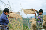Bhutanese farmers winnow rice in the field after harvesting, Chimi Lhakhang, Bhutan. A staple food of the Bhutanese people, red rice cultivation is declining due to the import of white rice from India.