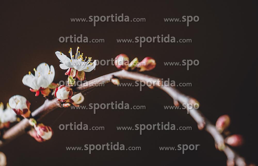 THEMENBILD - die weißen, zarten Blüten blühen üppig an den feinen Zweigen eines Marillenbaum, aufgenommen am 11. April 2020 in Kaprun, Oesterreich // the white, delicate flowers bloom profusely on the fine branches of an apricot tree in Kaprun, Austria on 2020/04/11. EXPA Pictures © 2020, PhotoCredit: EXPA/Stefanie Oberhauser