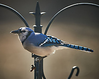 Blue Jay. Image taken with a Nikon D850 camera and 500 mm f/4 VR telephoto lens (ISO 90, 500 mm, f/4, 1/500 sec).