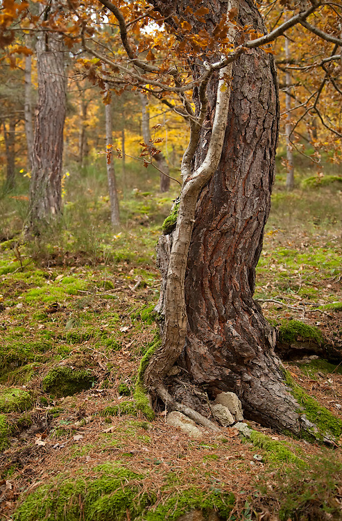 Oak tree (Quercus) trunk in autumn scenery, Bois de Rodez, Auvergne, France