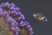 Hummingbird hawk-moth (Macroglossum stellatarum) nectaring on verbena. Sussex, UK.