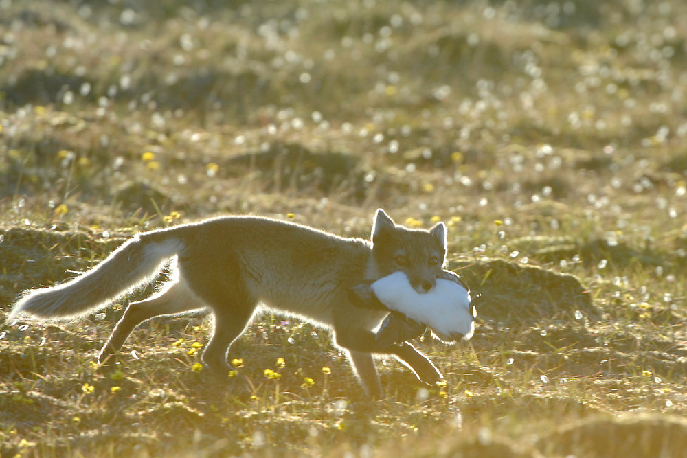Arctic fox with common guillemot (young) / Alopex lagopus<br /> Alkehornet<br /> Svalbard<br /> Norway