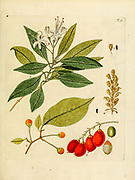 hand painted Botanical illustration of flower details leafs and plant from Collectaneorum Supplementum by Nicolai Josephi Jacquin Published 1796. Figure 5