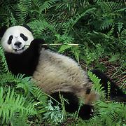 Giant panda (Ailuropoda melanoleuca) at the Wolong National Nature Reserve in Sichuan, China. Captive Animal