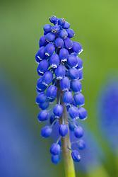 Muscari armeniacum - Grape hyacinth