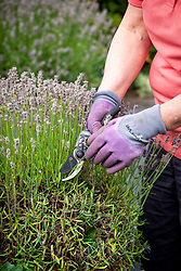 Trimming hardy lavender with secateurs after it has finished flowering - taking off flower stalks and first few leaves