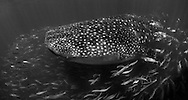 Gulf of mexico whale shark