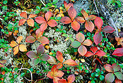 Autumn leaves turn red againts yellow lichen on the forest floor of Yoho National Park, British Columbia, Canada. This is in the Canadian Rocky Mountain Parks World Heritage Site declared by UNESCO in 1984.