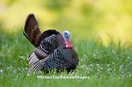 00845-07117 Eastern Wild Turkey (Meleagris gallopavo) gobbler strutting in field, Holmes Co., MS