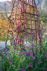 Rhodochiton atrosanguineus ( Purple bell vine) growing up a birch tripod with salvias around the base including Salvia greggii 'Blue Note' and Salvia 'Dyson's Gem'