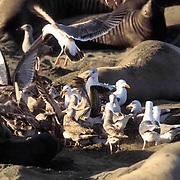 Northern Elephant Seal, (Mirounga angustirostris)  Gulls feeding on afterbirth of newborn pup. California.