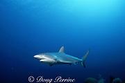 Caribbean reef shark, Carcharhinus perezi, Bahamas ( Western Atlantic Ocean )