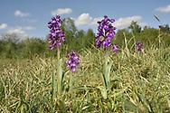 Green-winged Orchid - Anacamptis morio